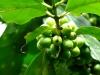 cerezas de café en la rama | Perú